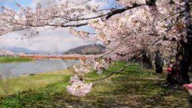 Sakura (cherry blossom) 桜 花見